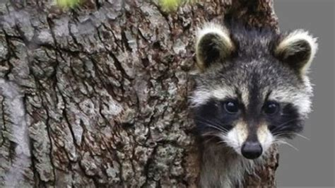 Quick Hits: Drunk Raccoons, New Park Service Director, and